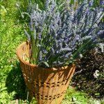 Camano-Lavender